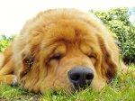 śpiący Tibetan mastiff